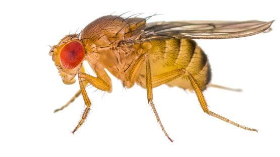 The Drosophila fruit fly