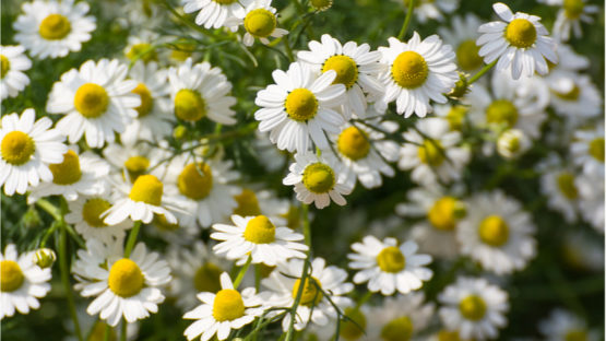 Chamomile is a great source of Apigenin.