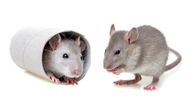 Mice playing
