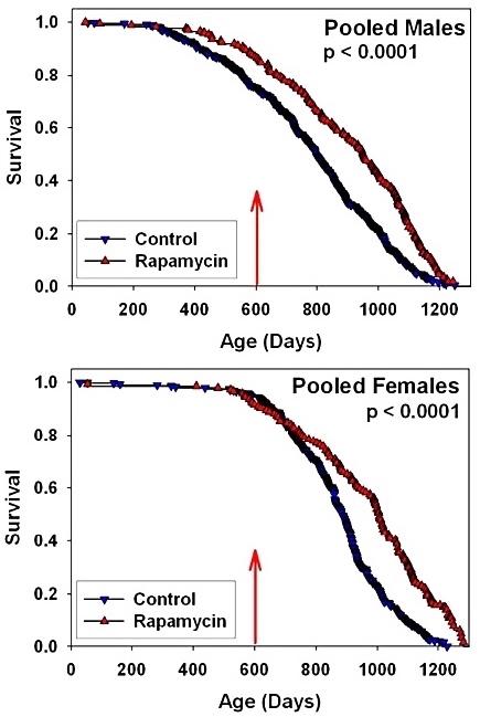 Rapamycin fed late in life extends lifespan in genetically heterogeneous mice